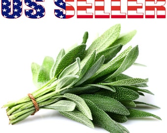 100+ ORGANIC Broad Leaved Sage Seeds Heirloom NON-GMO Fragrant Herb Perennia