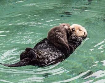 "Fine art photography, 11""x14"" print, sea otters, baby otter, Monterey Bay, California, Kodak Endura Metallic"
