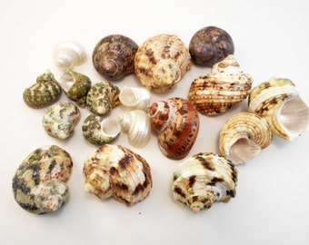 """18 Assorted Turbo Hermit Crab Shells Lot 3/4""""-2"""" size (opening 5/8""""-1"""") Seashell"""