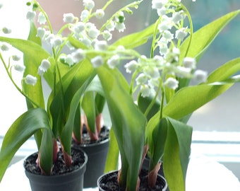 Nordic Lily of The Valley Flowers in Pot.  Mini Flower Plant. Life-Like Botanical Florist