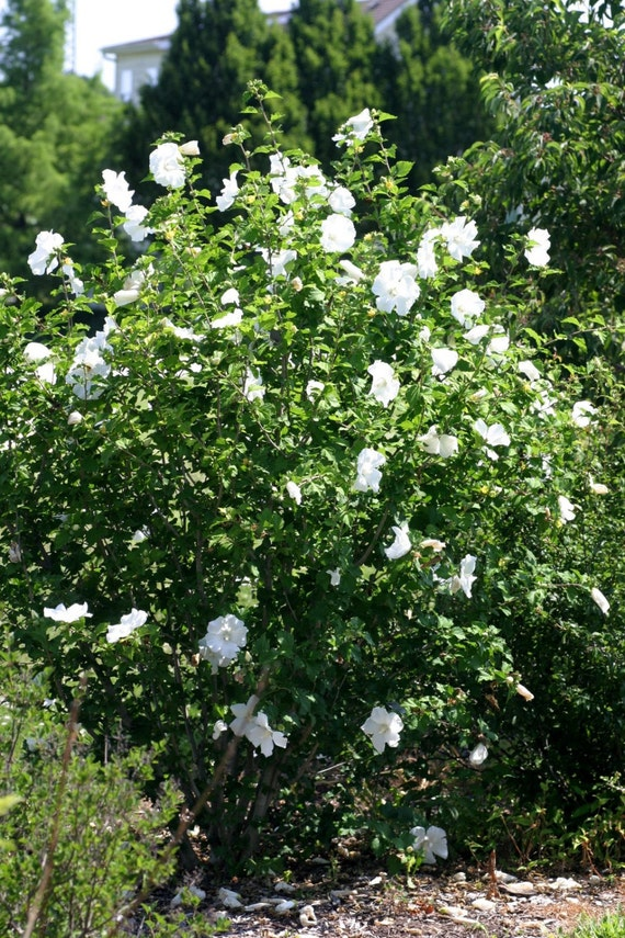 Rose Of Sharon Diana Hibiscus Syriacus 3 Pack