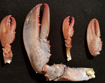 Real Lobster Claws