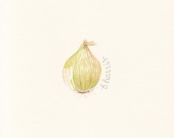 original watercolor - boiling onion