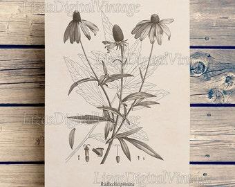 Flower print, Flower art, Printable botanical print, Coneflower, Rudbeckia, Vintage art, Wall art flower, 8x10, 11x14, A3 prints JPG PNG