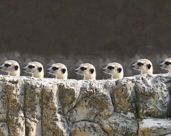 meerkat look out