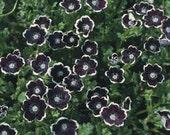 Pennie Black Nemophila Flower Seeds/Discoidalis/Annual   50+