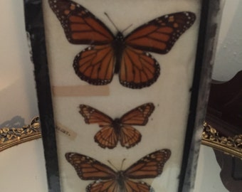 Antique Taxidermy Framed under Glass Butterflies Circa 1920 Price SLASHED!