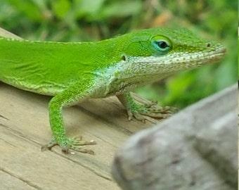 Louisiana Green Gecko