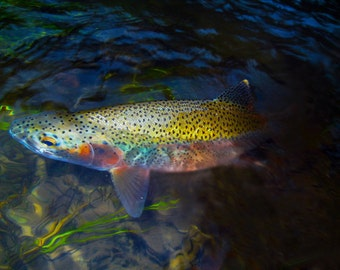 Fly Fishing Photography, Blackfoot River Rainbow Trout