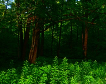 Forest photo, Forbes State Forest photo, ferns, nature photography, trees, greenery, woods, forest