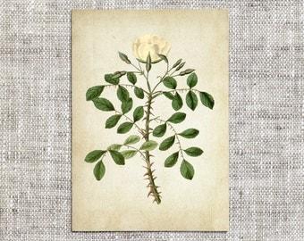 Rose - Rose Print - Rose Vintage Print - Vintage Print - Rose Digital Download - Herbarium - Digital Download - Digital Print - PNG - JPG