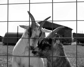 Goat love on the farm