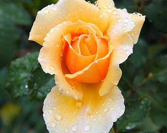 Rose in the rain Photograph