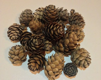 Pine cones from the French Alps - For your DIY workshops