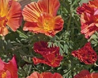40+ California Peach Strawberry Fields Mix Poppy / Re-Seeding Annual Flower Seeds