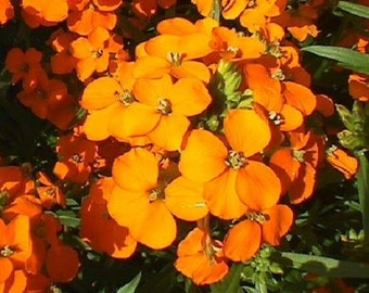 50+ Orange Siberian Wallflower Erysimum Allioni / Biennial Flower Seeds