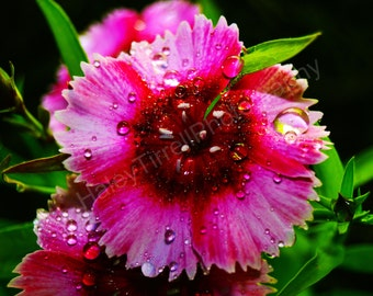 Unframed Vibrant Pink Flower Photography Print, Home Decor, Flower, Pink Flower, Flower after Rain, Flower Photography, Wet, Nature, Plant