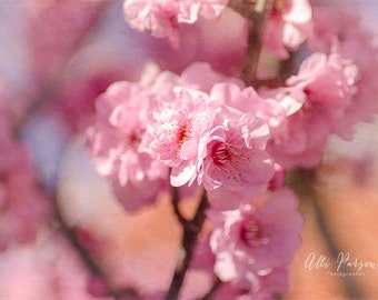 Cherry Blossom 1 - Trees - Pretty Pink Flowers - Fruit Trees - Printed & Mounted Image - Printed Photo - Photography