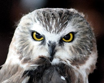 Saw Whet Owl Photograph, Nature Photography, Watercolor Photo