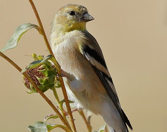 American Goldfinch 1