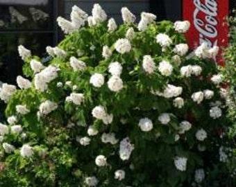 Oakleaf Hydrangea 10 Seeds