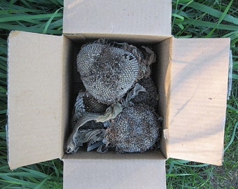 SUNFLOWER SEED Heads fULL BOX of SECoNDS