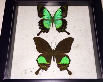 Indonesia meets New Guinea Gloss Swallowtail Butterflies Display