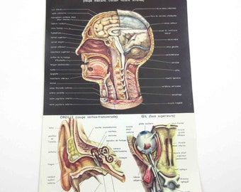 Gorgeous Color Book Plate of Anatomy Head Ear Eye Torso Abdomen Body Parts Medical with French Descriptions
