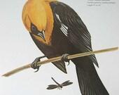 PRINT SALE 20% OFF Vintage 1960's Yellow Headed Blackbird Bird Print for Framing, Marie Bohlen Illustration, North American Birds Large Book