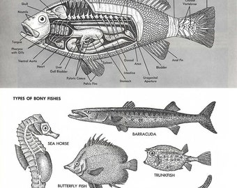 Fish Illustrations- 2 vintage black & white 1960's encyclopedia pages, sea life, nature illustrations, biology, fish anatomy illustrations