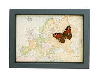 Framed Vintage Map of Europe with real native butterfly