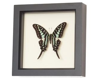 Framed Swordtail Butterfly Insect Taxidermy Display