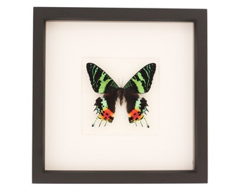 Real Sunset Moth Framed Insect Display