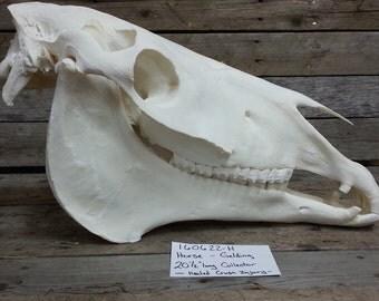 Average Horse Skull- Equus ferus caballus- Adult- Lot No. 160622-H