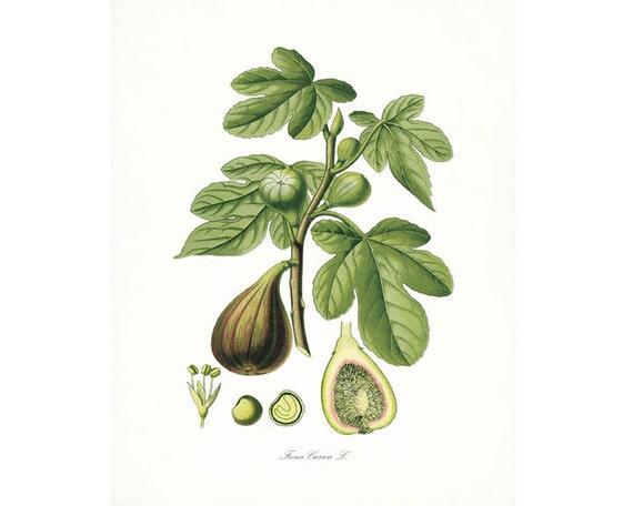 Italian Botanical Giclee Print -Italian Fig