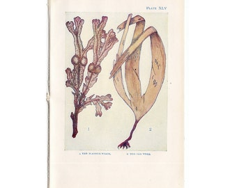 C. 1907 ANTIQUE SEAWEED LITHOGRAPH - original antique print - sea life marine beach ocean - sea grass & seaweed