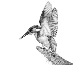 Kingfisher - Limited Edition Giclee Print from an Original Drawing