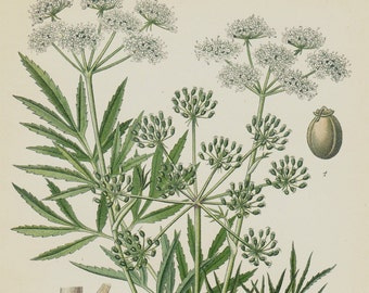 1896 Antique print, BOTANICAL print, lovely chromolithograph of a cicuta, cowbane or northern water hemlock, poison, poisonous plant, toxic