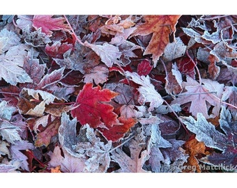 """Fine Art Color Nature Photography of Red Leaves in Autumn in Missouri - """"Maple Leaves and Frost 2"""""""