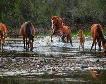 Wild Horses Stallion Salt River Arizona fine art photograph