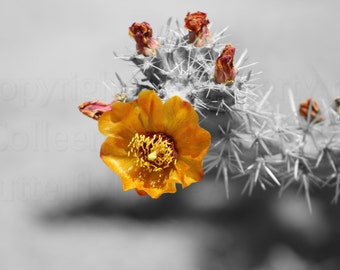 Golden Bright Orange Cactus Blossom on Black & White Accented Gorgeous Gold Orange and Honey  Photograph Wall Art