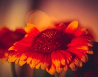 Daisy Photograph Floral,copper daisies,deep colors,flowers in sunset,orange daisy,summer sunset,dramatic wall art,nature photography,saffron