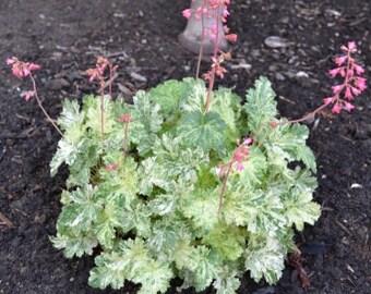 Heuchurea, Snow Angel, coral bells, live plants, to view more plants click www.etsy.com/shop/ThePlantBoutique