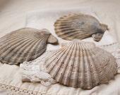 3 large whole fossil Chesapecten scallop shells (no.b2)