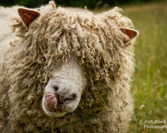Sheep Photograph Sheep face Sheep with Tongue Animal Photography Farm Animal Farm Photo Bad Hair Day Funny Animal Photograph Farm Art