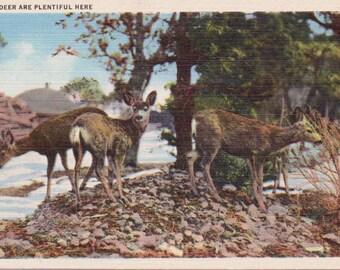 Deer - Deer Postcard - Linen Postcard - Unused (RR)