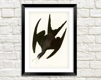 FRIGATE PELICAN PRINT: Vintage Black Audubon Bird Art Illustration Wall Hanging (A4 / A3 Size)