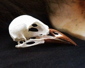 Real Crow Skull with Copper Painted Beak