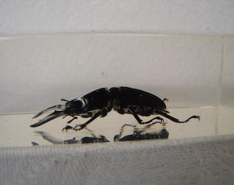 vintage entomology study-wood beetle,preserved in acrylic block-Taxidermy beetles,paper weights