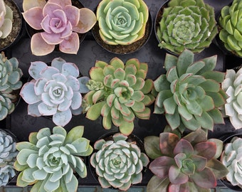 Wedding Favors, Succulent Plants - A Variety Of 30 Wonderful Succulents For Terrariums, Centerpieces, Boutonnieres and More